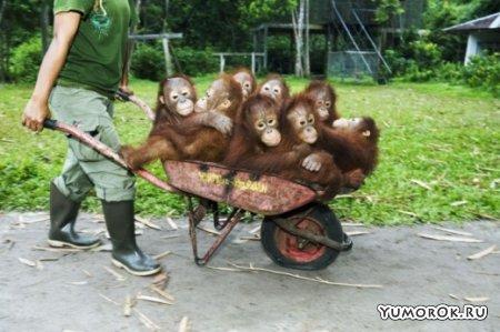 Детский сад орангутангов на Борнео