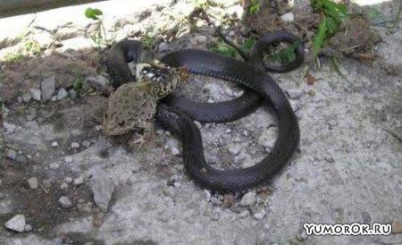 Змея против лягушки