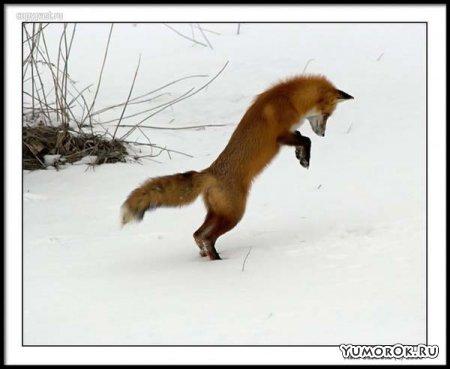 Лисенок смешно охотится на мышку