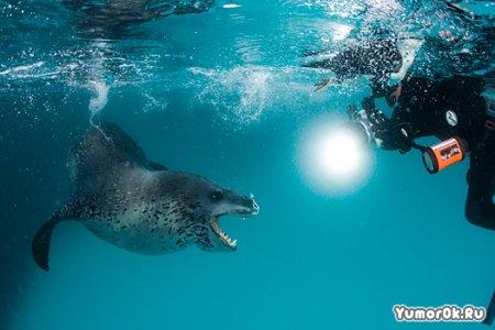 Тюлень на охоте