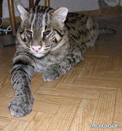 Сладкая жизнь большой кошки