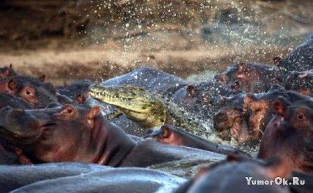 Крокодил напал на бегемотов