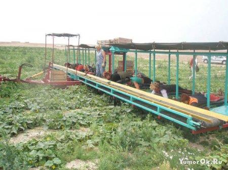 Комбайн по уборке огурцов в Белорусии