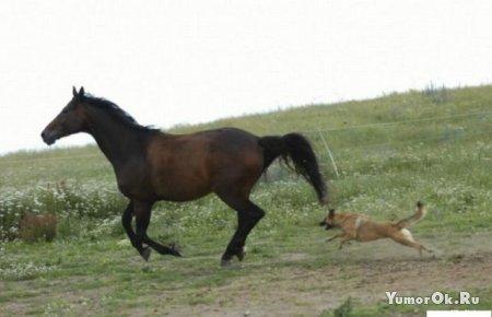 Как пёс лошадь гонял