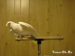 Попугай жгун