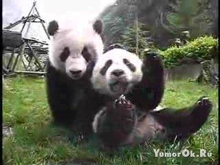 Панды - позитив