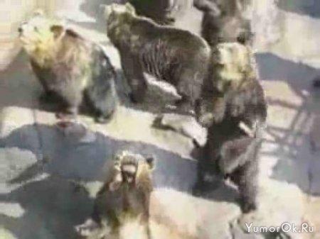 Медведи выпрашивают еду