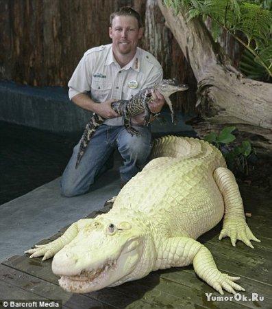 Алигатор - альбинос