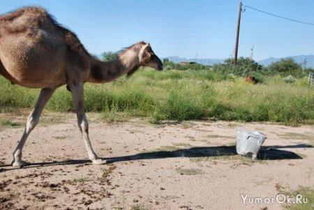 Верблюд в гневе
