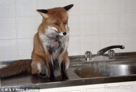 Домашняя лисица