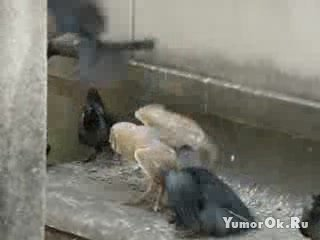 Вороны напали на сову