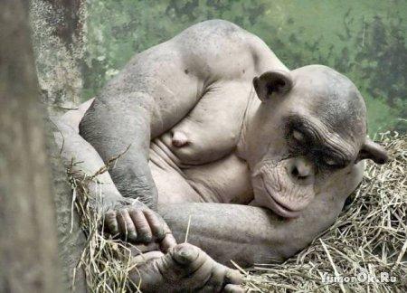 Совершенно лысая обезьяна