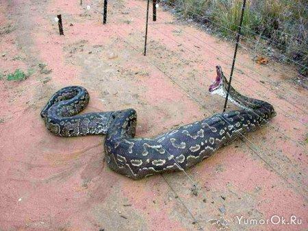 Самая зубастая змея