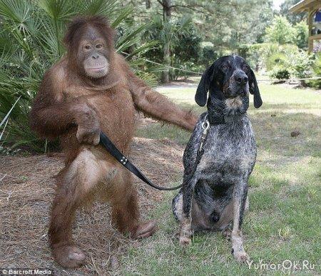 Дружба собаки и орангутанга