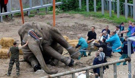 Как сделать педикюр слону