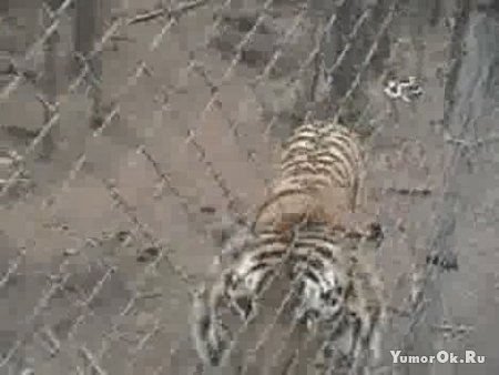 Атака тигра