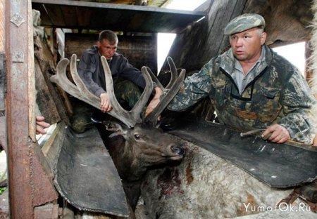 Как спиливают рога оленям