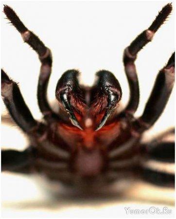 Самые ядовитые пауки планеты