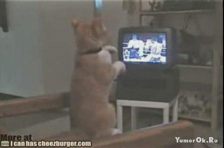 Кот боксер