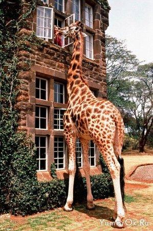 Домашний ... жираф