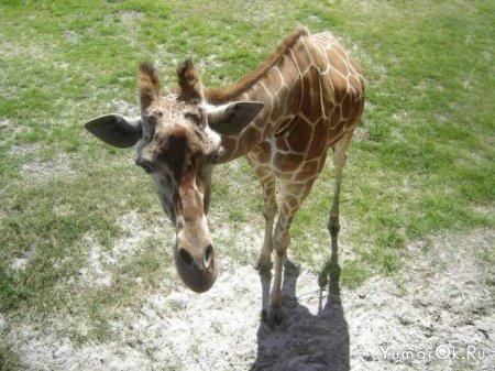 Забавные жирафы