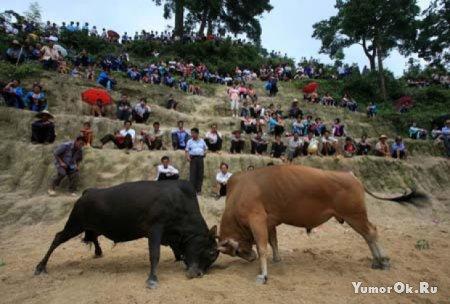 Китайские бои быков