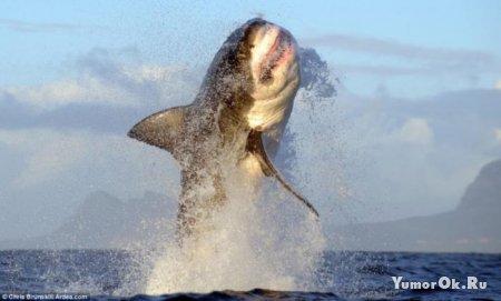 Полет белой акулы