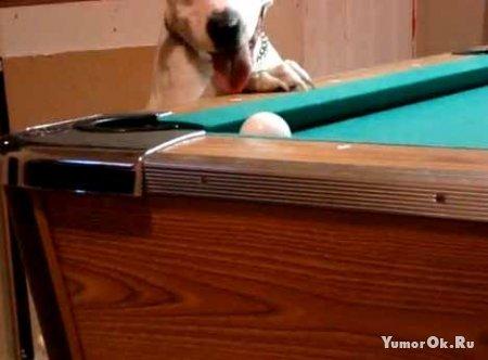 Собака-бильярдист