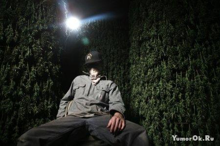 Плантации марихуаны