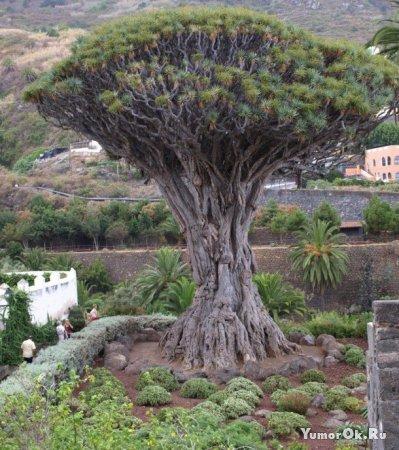 Деревья которым уже много лет