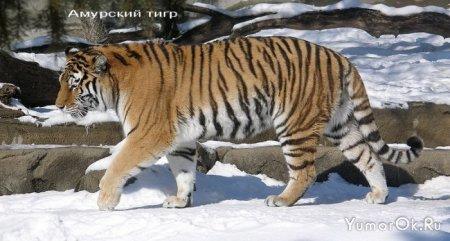 Огромные кошки
