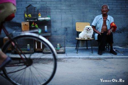 Китайские собачки